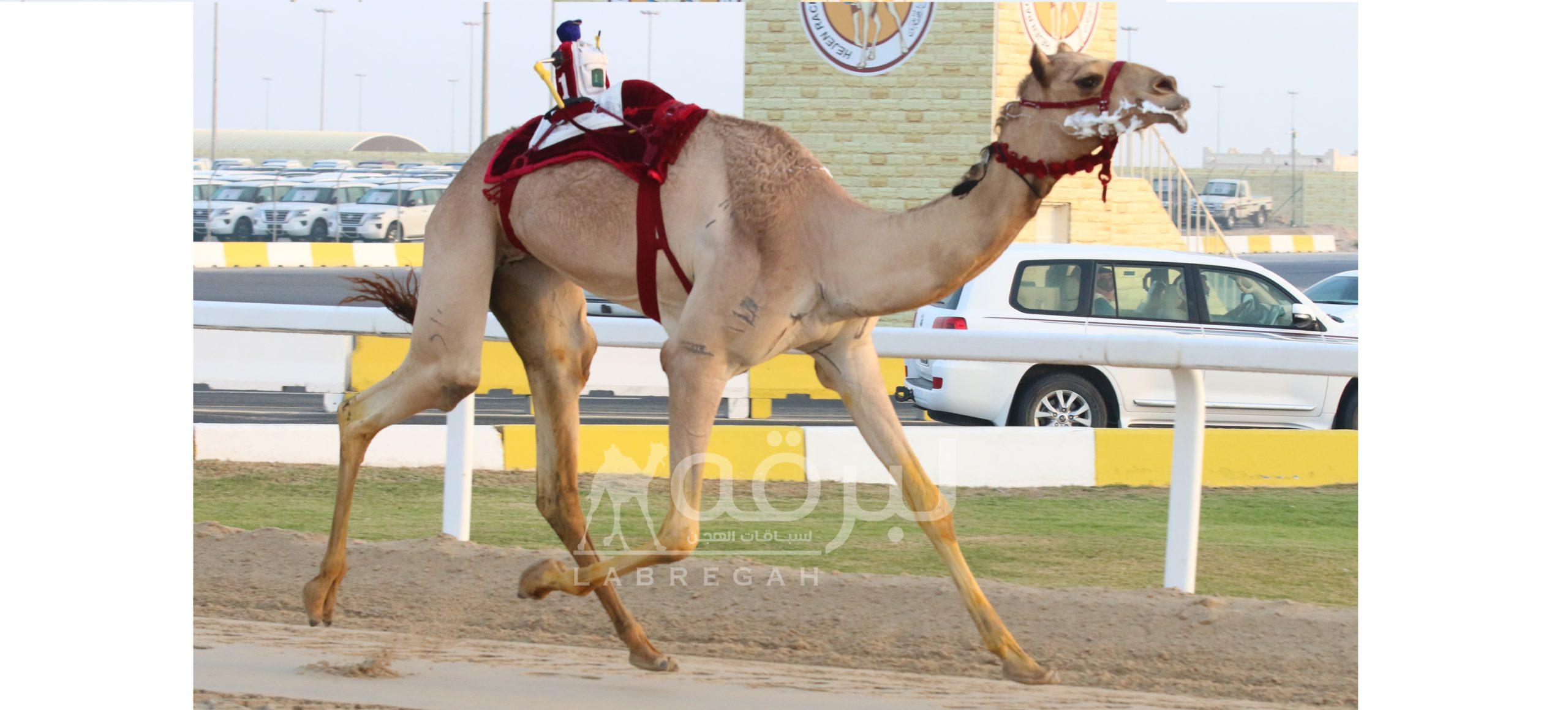 بتاسع أيام مهرجان الأمير الوالد.. العطية يقود هجن الشحانية إلى الإبداع في رئيسي الثنايا